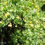 Berberis Buxifolia Laguna Rosales