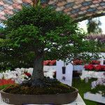 Divino Bonsai