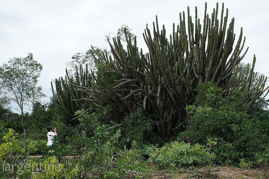 Cactus Gigante en El Impenetrable
