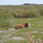 Vaca Pastando en Pantano
