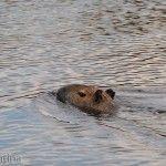 Carpincho Nadando las Aguas Río Miriñay