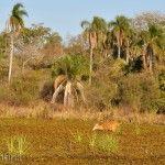 Ciervo de los Pantanos Laguna Ibera Lado Río Corriente