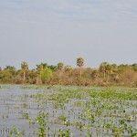 Palmeras Laguna Ibera Lado Río Miriñay