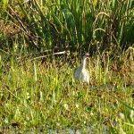 Pato Observador Laguna Ibera Lado Río Corriente