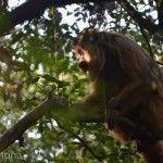 Sendero de los Monos Caraya