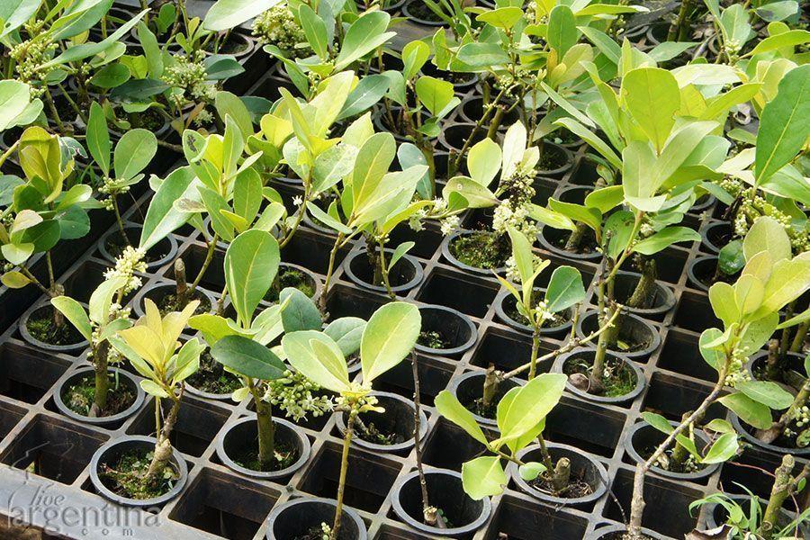 Plantines de Yerba Mate