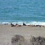 Lobos Marinos en Punta Norte