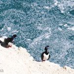 Cormoranes Patagonicos en Punta Loma