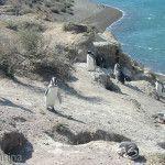 Pinguinos de Peninsula Valdes
