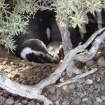 Pingüinos Descansando