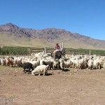 Cabras y Gaucho Andacollo